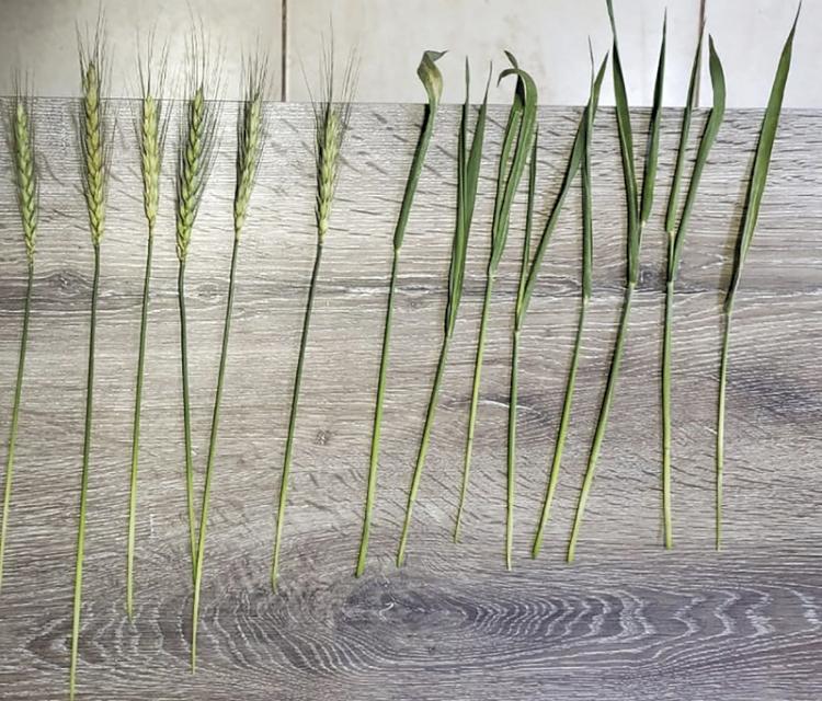 Cultura de trigo é prejudicada pela geada