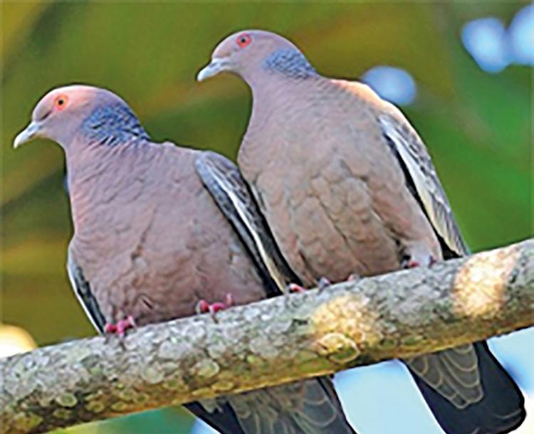Proliferação de pombas em ambientes urbanos causa riscos à população
