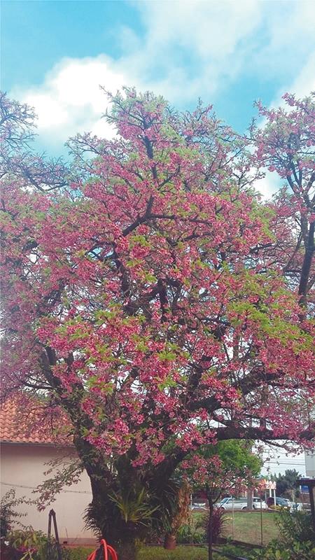 Cerejeira japonesa colore ruas e  jardins no inverno três-maiense