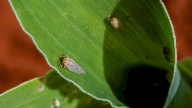 Emater alerta produtores sobre cigarrinha do milho