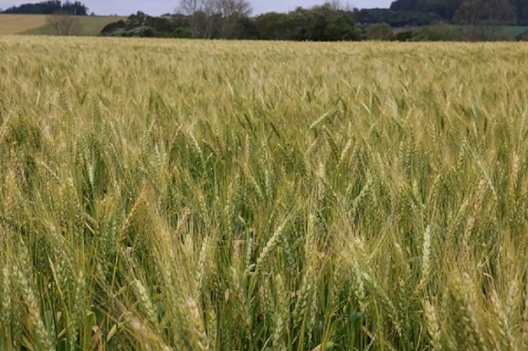 Com clima favorável, trigo pode superar expectativa de produção